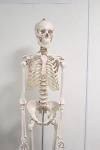 人間の骨格イメージ